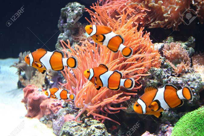 33869296-sea-anemone-and-clown-fish-in-marine-aquarium