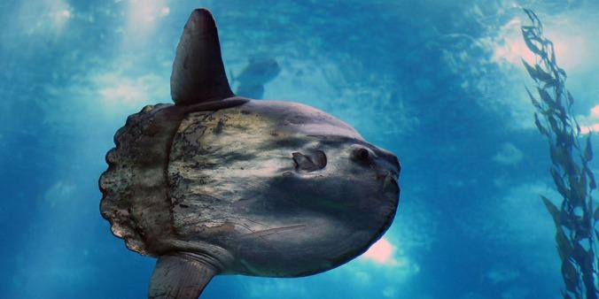 sunfish-mola-mola-1024-512
